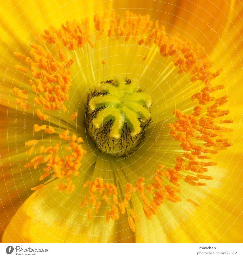 Papaver le premier Pflanze grün Sommer Blume ruhig schwarz gelb Blüte Frühling Hintergrundbild Linie hell orange Blühend Blumenstrauß Stengel