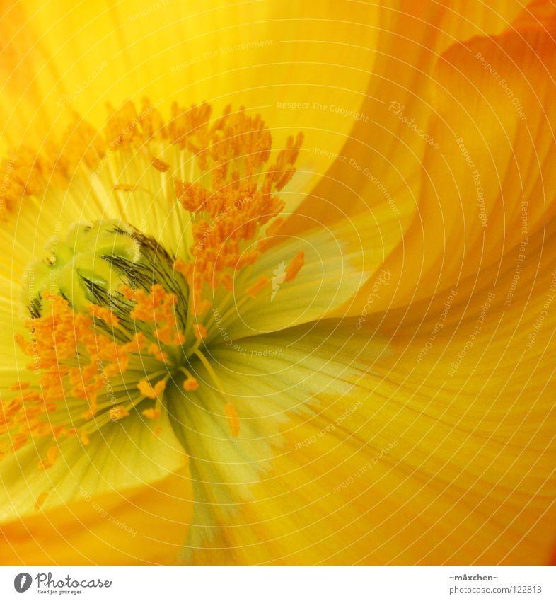 Papaver le deuxième ruhig Sommer Pflanze Frühling Blume Blüte Blumenstrauß Linie Blühend hell gelb grün orange schwarz Gesellschaft (Soziologie) Pollen