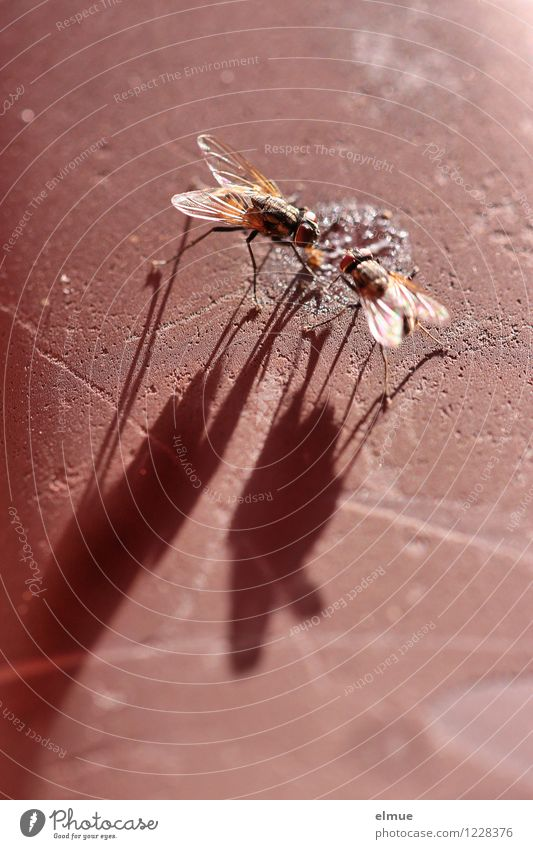 Giganten an der Futterstelle Fliege Insekt 2 Tier Koloss Wachstum Täuschung Illusion Fressen gigantisch gruselig klein lang braun Kraft Mut standhaft gefräßig
