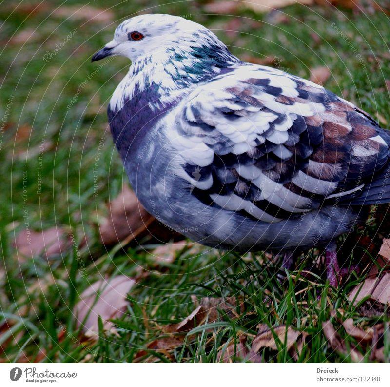Taube Blau-Weiss Vogel gefiedert Schnabel grün weiß Tier Wiese Gras watscheln Luft Blatt Halm füttern Korn Himmel Flügel Feder Schönes Wetter blau Natur