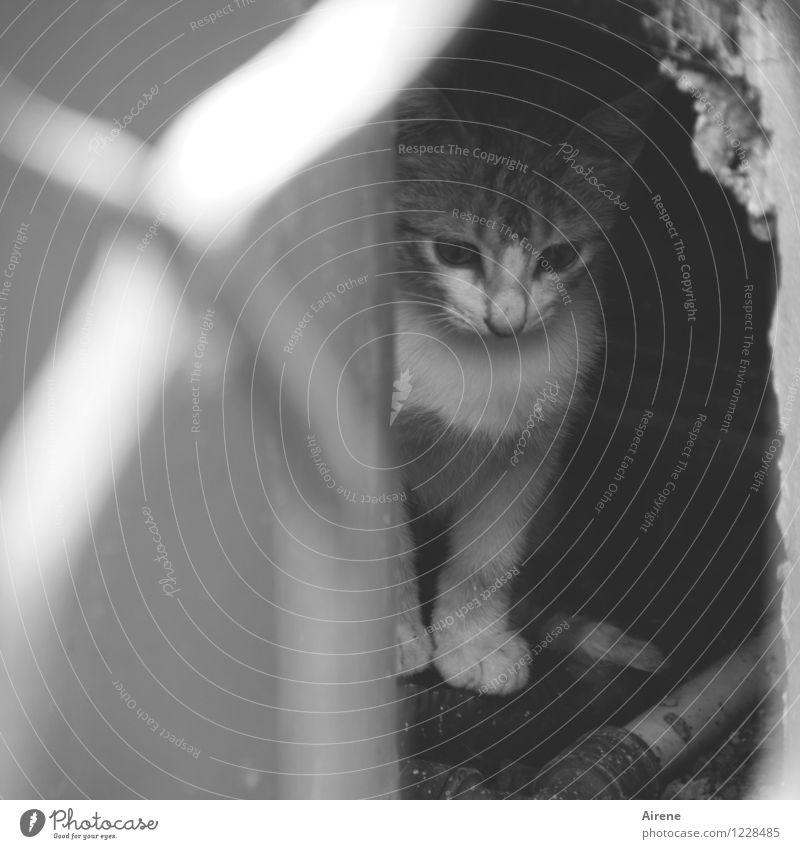 im Rampenlicht | Lampenfieber! Katze weiß Tier Tierjunges grau Angst niedlich Vorsicht Schüchternheit lieblich