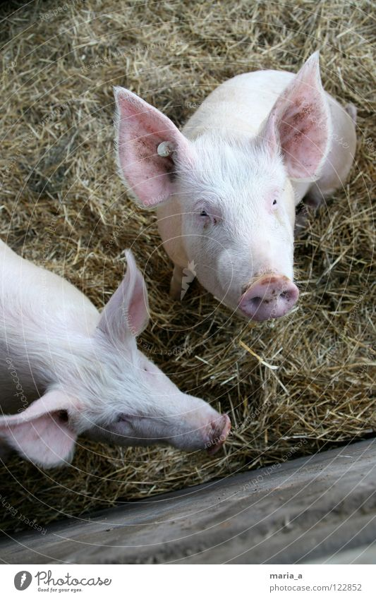 zwei kleine schweinchen Schwein Ferkel rosa Rüssel Tier klug Neugier Bauernhof Blick Knopf im Ohr Säugetier steckdosem äuglein go vegetarien schweinchen babe