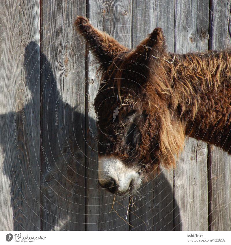 Osterhasenesel süß Ohr niedlich Fell Bart Müdigkeit Säugetier Fressen Esel Tier Holzwand Schattenspiel verschlafen Geselle