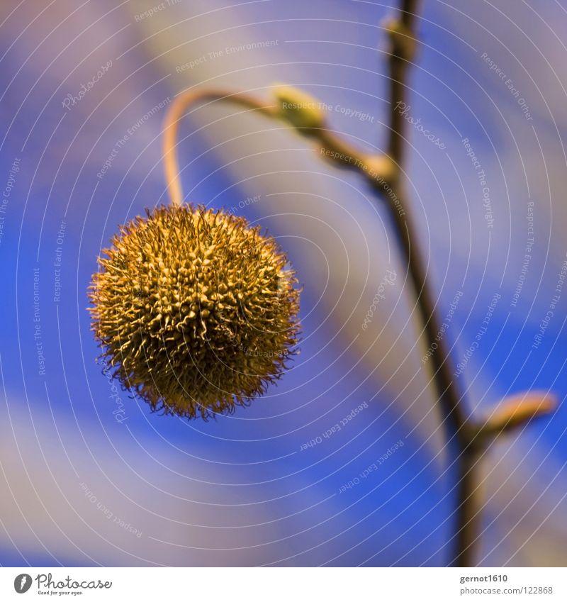 Bommelchen Baum Herbst Platane Frucht Fruchtkörper Kugel kugelrund stachelig Baumfrucht Vor hellem Hintergrund Zweig Freisteller Makroaufnahme