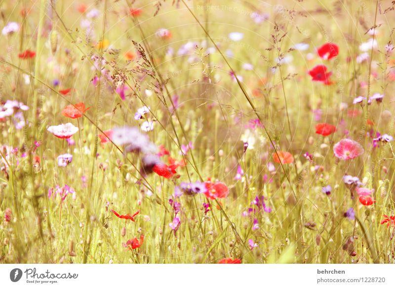 momomo(h)ntag Natur Pflanze Frühling Sommer Schönes Wetter Blume Gras Blatt Blüte Mohn Garten Park Wiese Feld Blühend Duft Wachstum frisch schön mehrfarbig