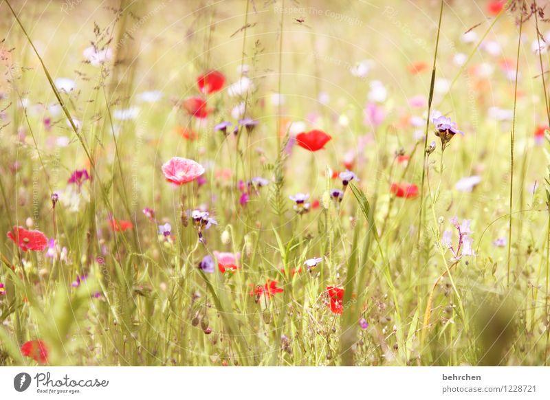 mo(h)nday mo(h)(r)ning Natur Pflanze Frühling Sommer Schönes Wetter Blume Gras Blatt Blüte Wildpflanze Mohn Garten Park Wiese Blühend Duft verblüht Wachstum