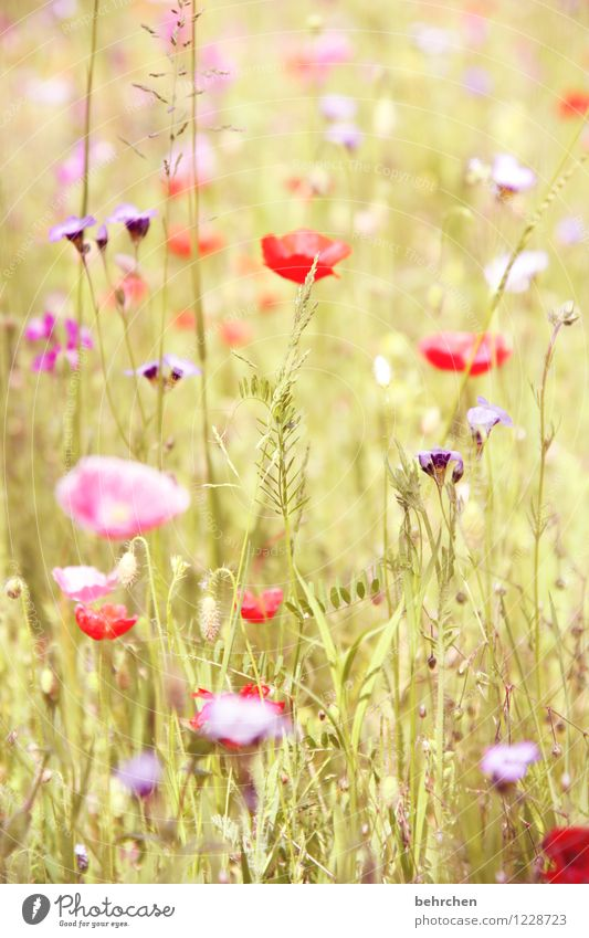 flora liebt euch! Natur Pflanze Frühling Sommer Schönes Wetter Blume Gras Blatt Blüte Wildpflanze Mohn Garten Park Wiese Feld Blühend verblüht Wachstum Duft
