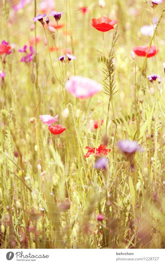 don`t forget FLORA SOMMER Natur Pflanze Frühling Sommer Schönes Wetter Blume Gras Blatt Blüte Wildpflanze Mohn Garten Park Wiese Feld Blühend Duft verblüht