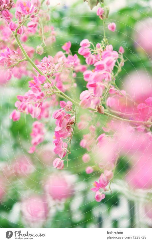 mädchenfoto für john... Natur Pflanze Frühling Sommer Schönes Wetter Blatt Blüte Blühend verblüht Wachstum Duft exotisch schön Kitsch grün rosa Zweige u. Äste
