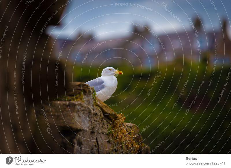 Hafenmöwe Ferien & Urlaub & Reisen Tourismus Ausflug Abenteuer Ferne Natur Tier Crail Schottland Dorf Fischerdorf Mauer Wand Wildtier Vogel 1 beobachten hocken