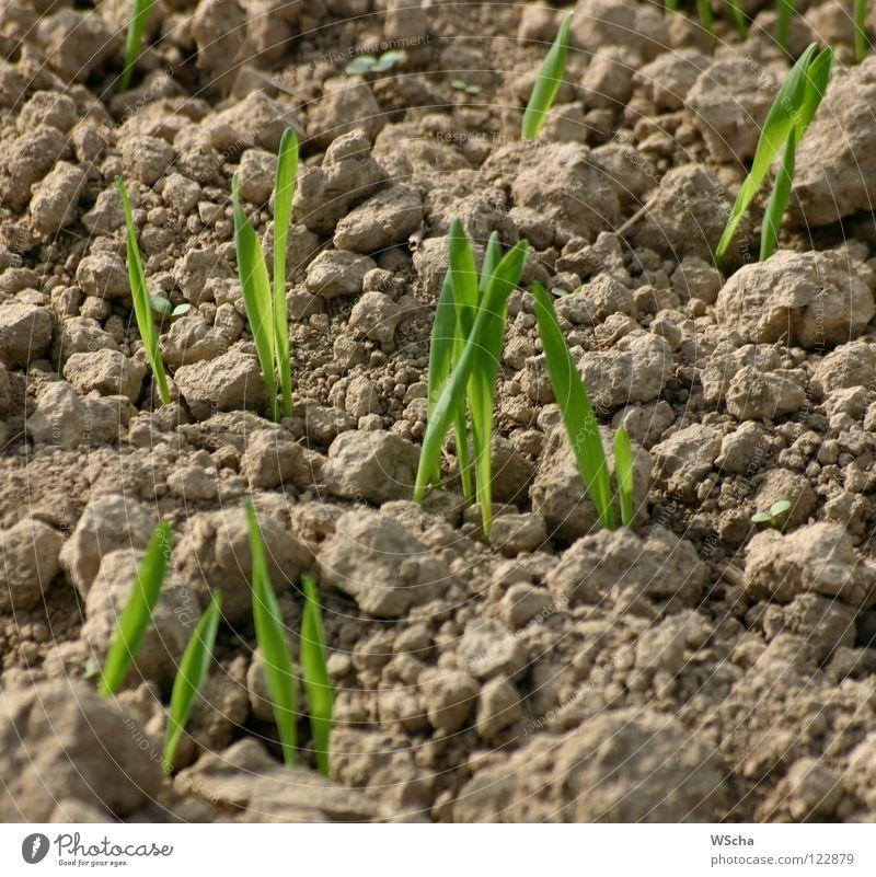 Die Saat geht auf Aussaat grün Feld Landwirtschaft Reifezeit Frühling Natur Erde Wachstum