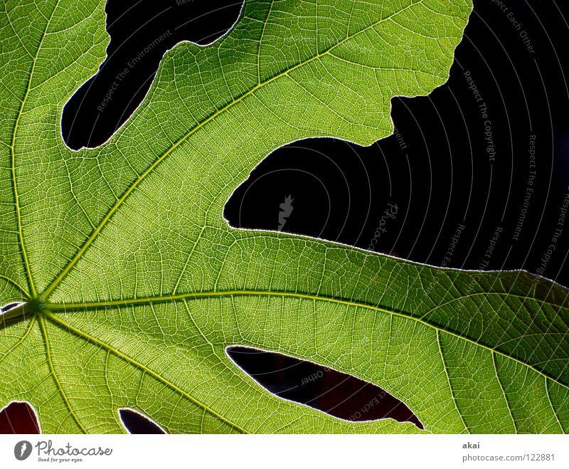Das Blatt 28 Pflanze Feigenblatt grün Botanik Pflanzenteile Kletterpflanzen pflanzlich Umwelt Sträucher Gegenlicht krumm Hintergrundbild Baum nah Licht