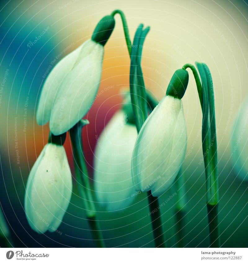 Frühlingserwachen Blume Pflanze Sommer Winter Farbe Schnee Wiese Blüte Wachstum zart Blühend Jahreszeiten hängen fein Blumenwiese