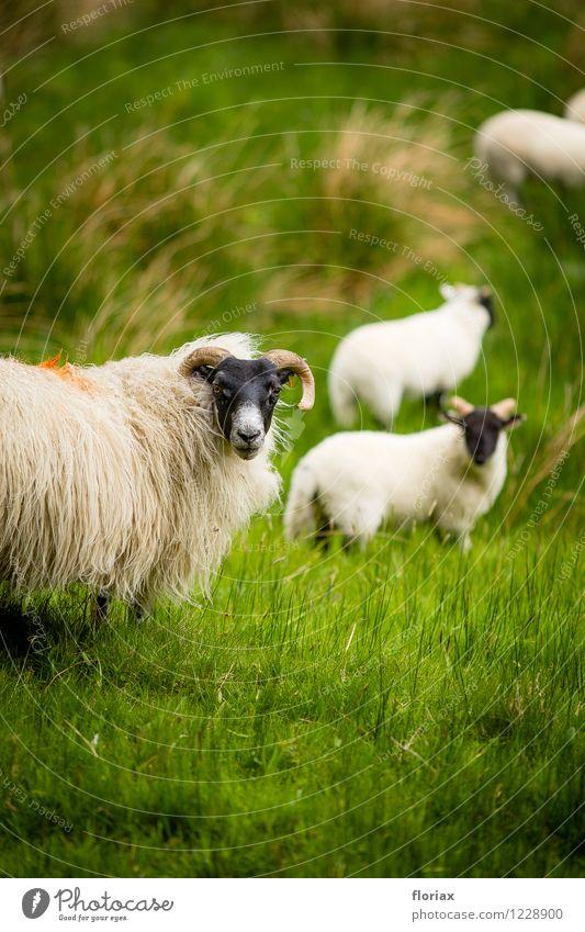 Das Schaf erblickt die Kamera Umwelt Natur Tier Gras Wiese Schottland Nutztier Tiergruppe Herde Tierfamilie beobachten grün schwarz weiß Highlands Weide Gesicht