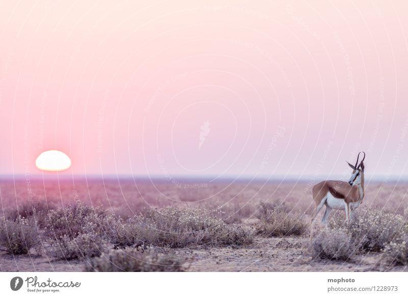 #1 Lone Ranger Jagd Ferien & Urlaub & Reisen Tourismus Ferne Safari Umwelt Natur Tier Sonne Sonnenaufgang Sonnenuntergang Savanne Steppe Etoscha-Pfanne Namibia