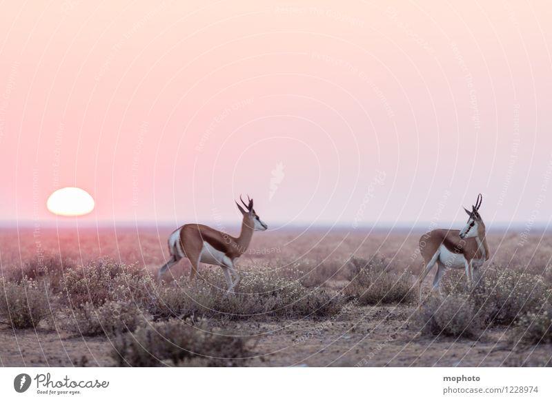 #2 Mating Jagd Ferien & Urlaub & Reisen Tourismus Ferne Safari Umwelt Natur Landschaft Tier Sonne Sonnenaufgang Sonnenuntergang Sonnenlicht Dürre Sträucher