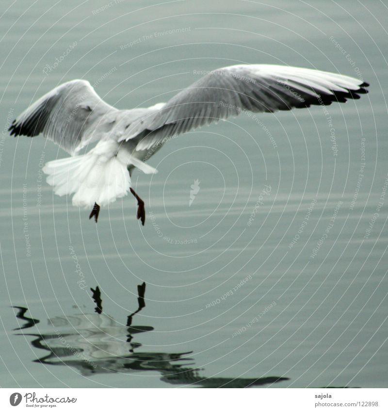 achtung landung! Wasser weiß schwarz Tier grau See Vogel Tierfuß fliegen Feder Flügel Möwe Schwanz trüb