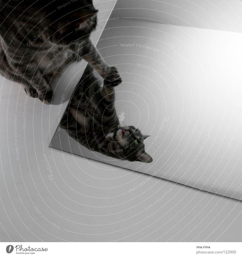 Spieglein Spieglein...2 dunkel Katze hell Spiegel berühren Konflikt & Streit Pfote Säugetier Zunge Hauskatze Spiegelbild
