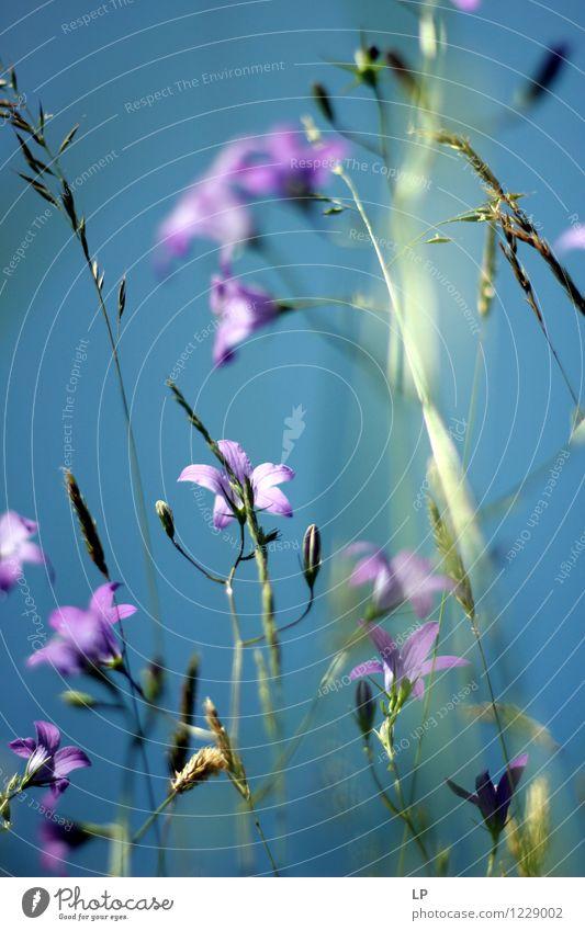 blau und violett Umwelt Natur Landschaft Pflanze Urelemente Luft Himmel Wolkenloser Himmel Frühling Sommer Klima Schönes Wetter Blume Gras Blüte Wildpflanze
