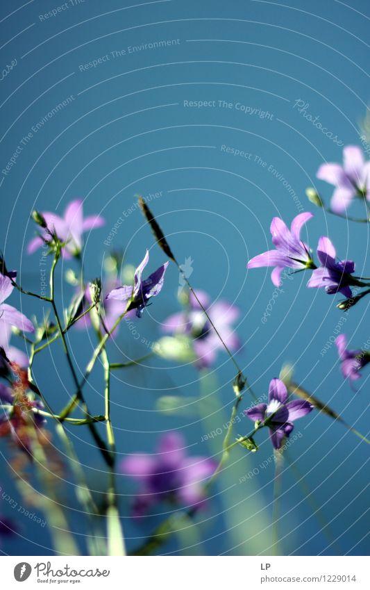 violett und blau Umwelt Natur Landschaft Pflanze Urelemente Luft Himmel Wolkenloser Himmel Frühling Sommer Klima Schönes Wetter Blume Blatt Blüte Wildpflanze