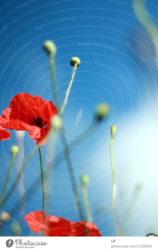 Mohn im Wind Himmel Natur blau Pflanze schön Sommer Blume rot Landschaft Umwelt Wärme Frühling feminin Zufriedenheit Wetter Luft