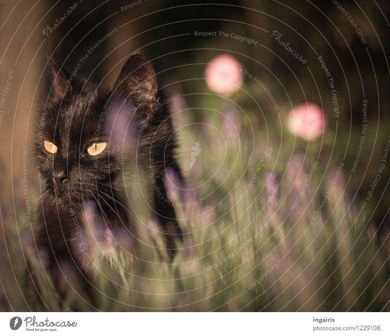 Für Katzenfreunde Natur Pflanze grün Sommer ruhig Tier schwarz gelb Leben natürlich Stimmung rosa leuchten sitzen Lebensfreude