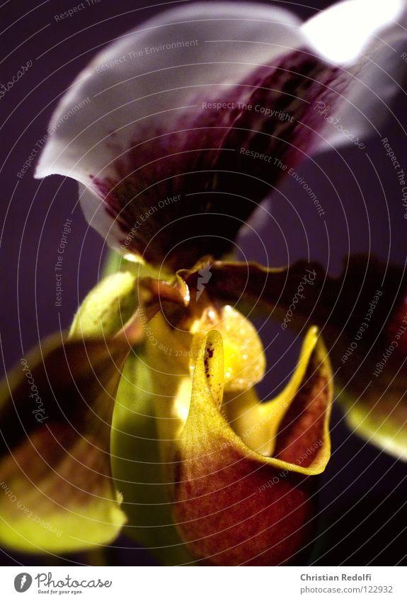 Orchidee weiß Pflanze schwarz gelb Blüte Vergänglichkeit Blütenknospen Kelchblatt Frauenschuh