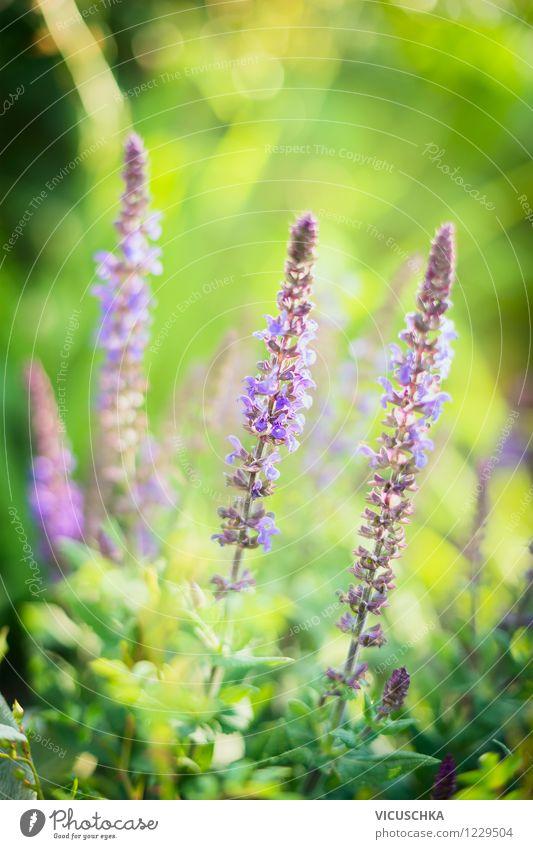 Salbei Blüten in grünem Garten Natur Pflanze Sommer Blume Blatt Leben Blüte Herbst Hintergrundbild Garten Lifestyle rosa Park Freizeit & Hobby Design weich