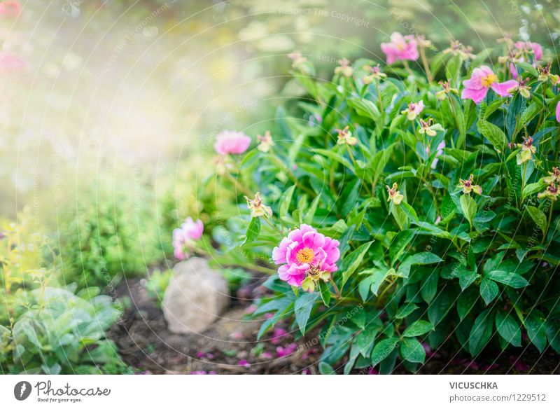 Pfingstrosen Strauch im Garten Lifestyle Stil Design Sommer Natur Pflanze Frühling Sträucher Blatt Blüte Park Oase gelb rosa Duft Hintergrundbild Blume