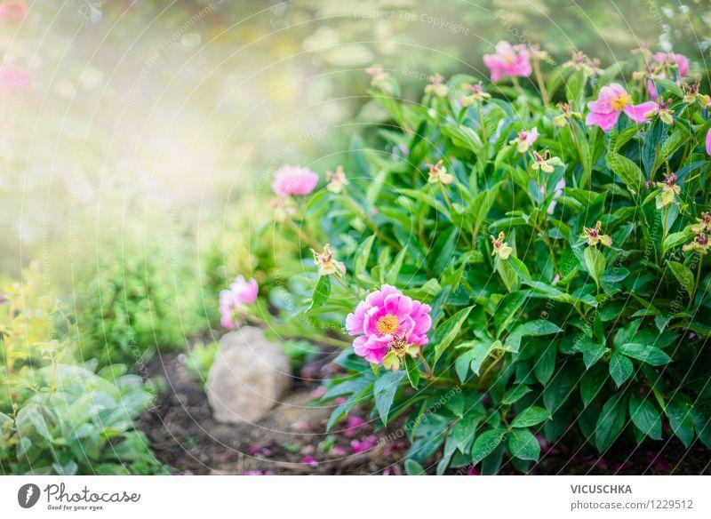 Pfingstrosen Strauch im Garten Natur Pflanze Sommer Blume Blatt gelb Frühling Blüte Stil Hintergrundbild Lifestyle rosa Park Design Sträucher