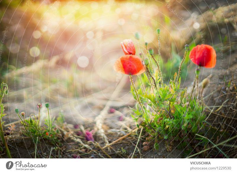 Wilde Mohnblumen im Sonnenuntergang Design Sommer Garten Umwelt Natur Landschaft Pflanze Sonnenaufgang Sonnenlicht Frühling Herbst Schönes Wetter Blume