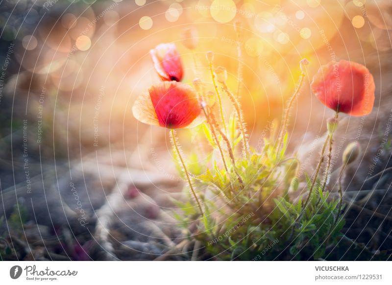 Wilde Mohnblumen in Sonnenuntergang Design Sommer Garten Natur Pflanze Sonnenaufgang Sonnenlicht Schönes Wetter Blume Blatt Blüte Park Wiese gelb rosa Stimmung