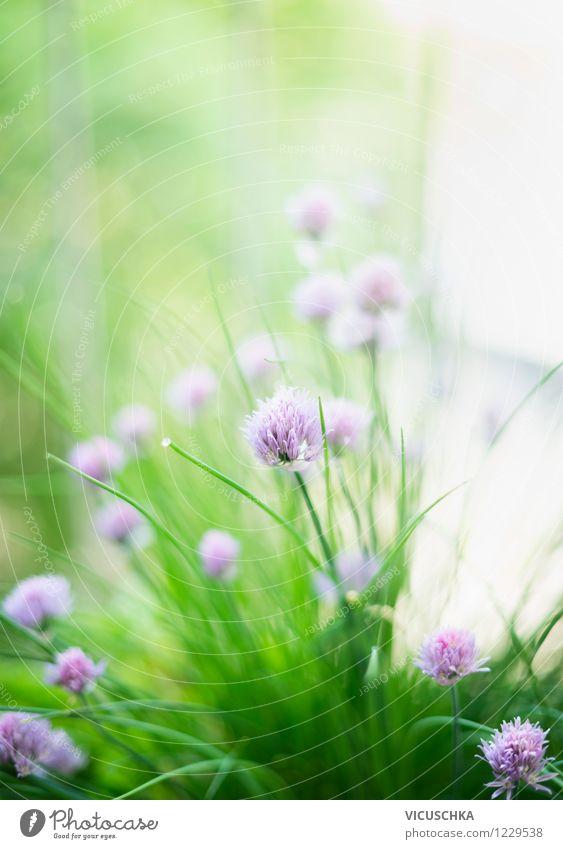 Schnittlauch Natur Pflanze Sommer Blume Blatt Frühling Blüte Stil Hintergrundbild Garten Lifestyle Lebensmittel Design Schönes Wetter Kräuter & Gewürze Balkon