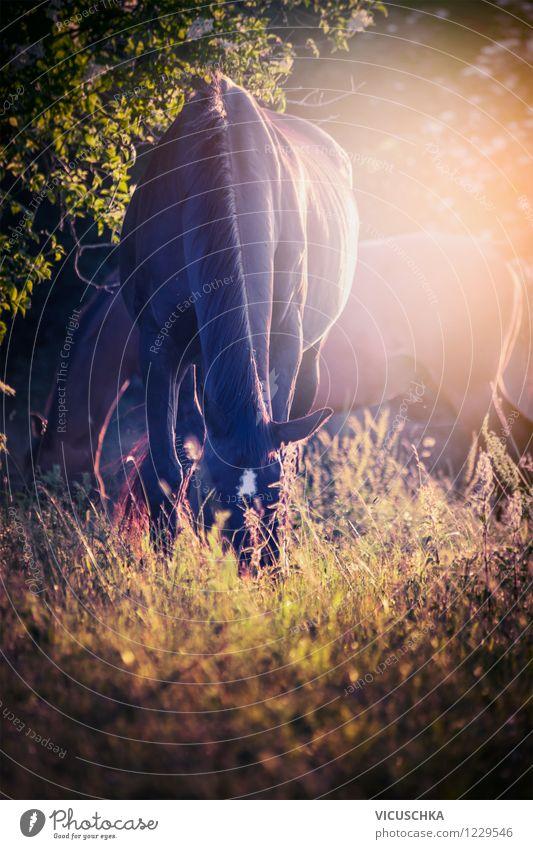 Pferde grasen im Sonnenuntergang Lifestyle Design Reiten Sommer Natur Pflanze Tier Herbst Schönes Wetter Wiese Wald Nutztier 2 Weide Licht friedlich Gegenlicht