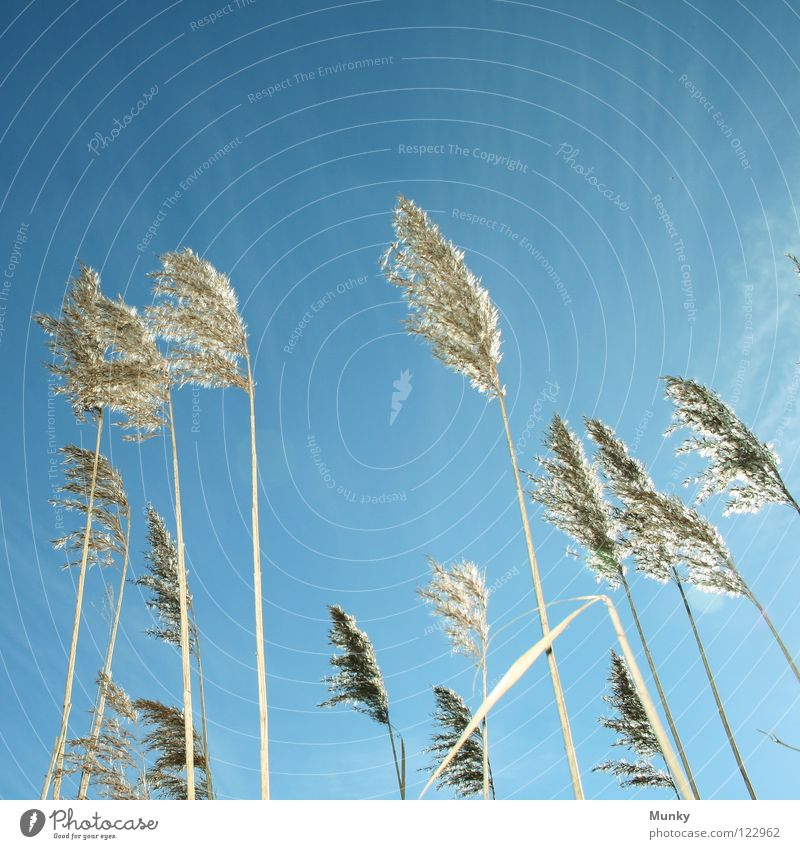 Schilf Himmel blau Pflanze Sommer Wolken Gras Blüte hell Wind frei Kraft weich Klarheit Blühend Schilfrohr Am Rand