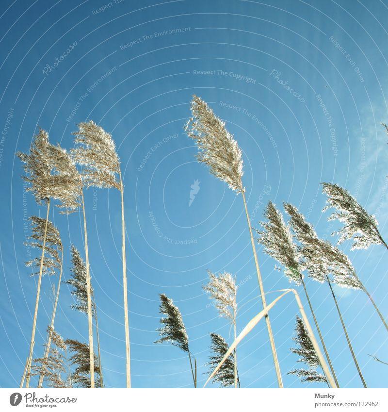 Schilf Schilfrohr Gegenlicht Wolken schlechtes Wetter Stab vertikal weich Pflanze Süßgras Gras Sumpfpflanze Am Rand Kontrast Kraft Blüte Windböe Allergiker
