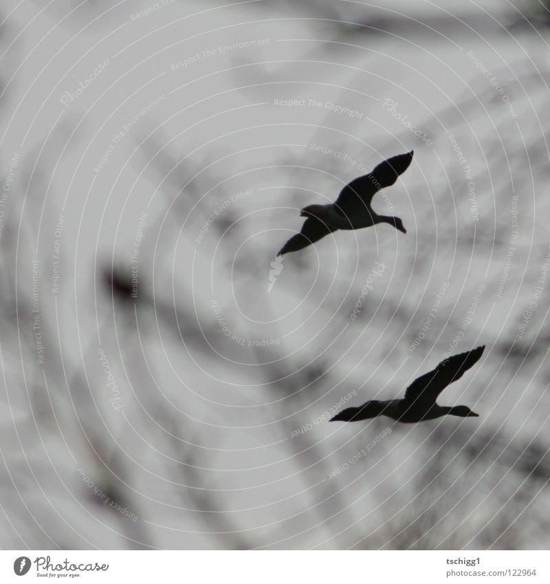 Gänsemarsch Himmel Baum Vogel fliegen Luftverkehr Ast Gans