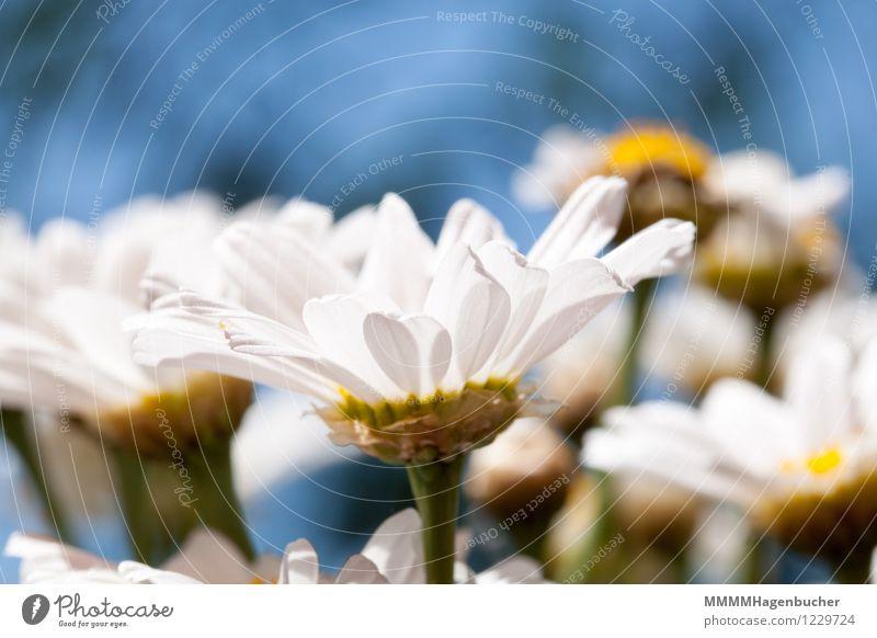 Frühlingsgefühle Sommer Dekoration & Verzierung Pflanze Blume Blumenstrauß Duft Fröhlichkeit frisch schön blau gelb grün weiß Freude Glück Margerite mehrfarbig