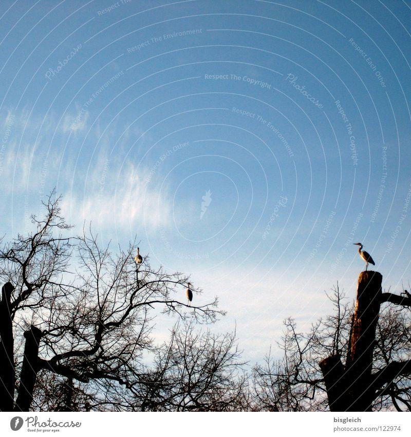 Wächter des Tages Himmel Baum blau Wolken Tier Ferne Vogel Sicherheit Ast Wachsamkeit Storch Wächter Reiher