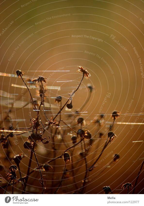 fein gesponnen Pflanze Winter Tod Blüte Beleuchtung glänzend Netz Vergänglichkeit zart trocken Schönes Wetter vergangen Spinne Nähgarn verblüht