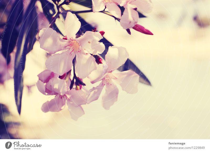 summer dreaming Natur Pflanze schön Sommer Erholung Blume Reisefotografie Wärme Blüte rosa genießen Blühend Schönes Wetter Duft mediterran Paradies