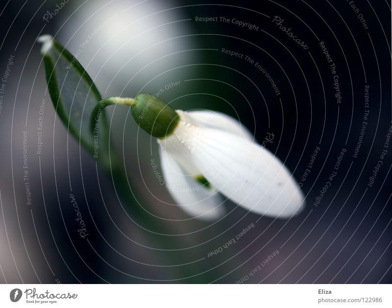 Weils bald soweit ist Natur weiß Blume grün kalt Blüte Frühling klein violett rein zart Stengel Blühend Blütenblatt März verwundbar