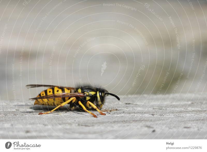 Plagegeist... Tier Sommer Wildtier Wespen 1 Holz krabbeln authentisch klein natürlich gelb grau schwarz Zufriedenheit achtsam Leben Natur Umwelt Farbfoto
