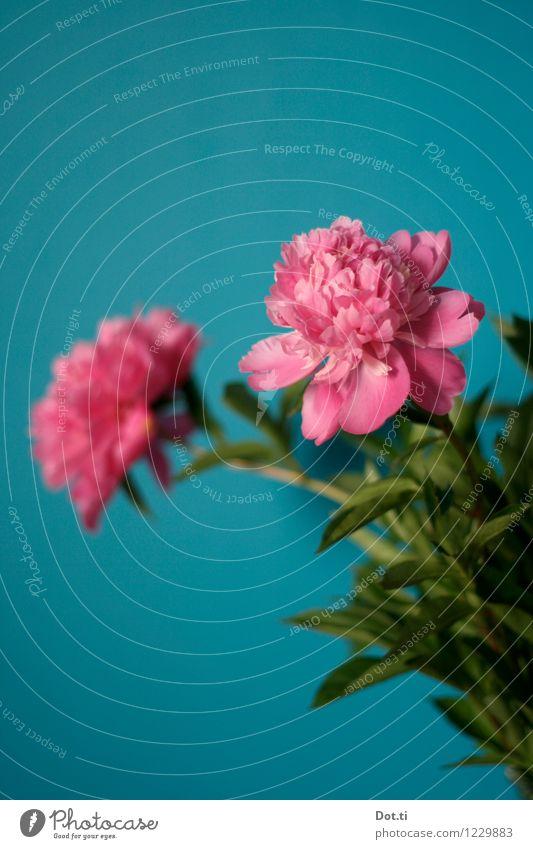 peony Häusliches Leben Pflanze Blume Blatt Blüte grün rosa türkis Pfingstrose Wand Blumenstrauß üppig (Wuchs) Dekoration & Verzierung Farbfoto Innenaufnahme
