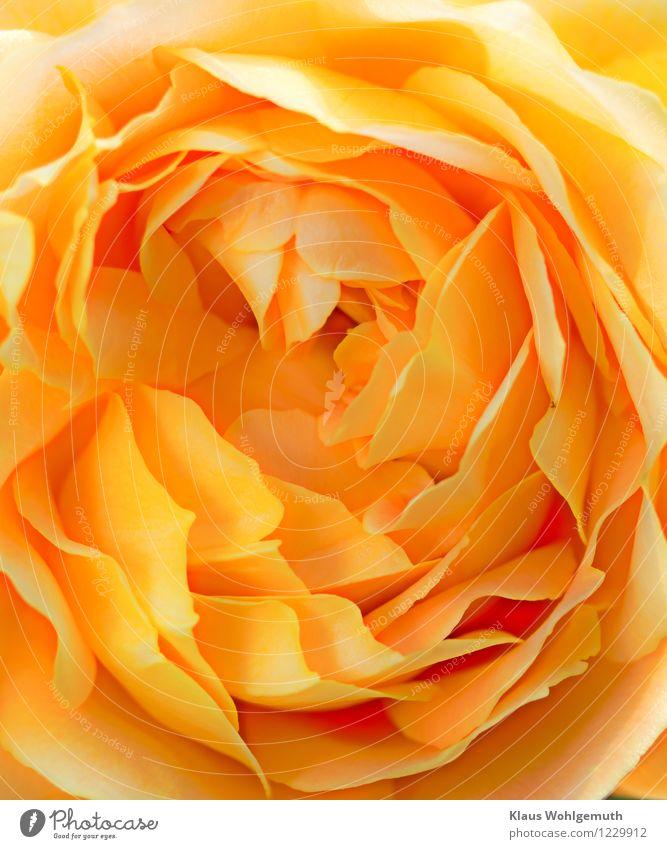 'Golden Celebration' Umwelt Natur Pflanze Sommer Blume Rose Blüte Garten Park Blühend ästhetisch schön gelb gold zart bezaubernd Farbfoto Außenaufnahme