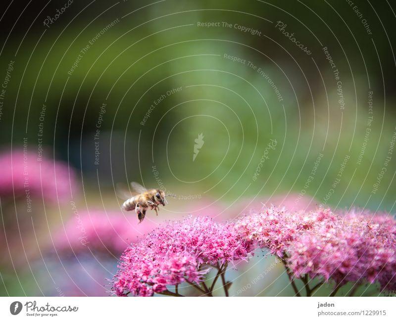 ich flieg auf rot. Natur Pflanze Sommer Blume Tier Blüte fliegen Flügel Ausflug Schönes Wetter Flugangst Biene Sammlung Landen Aggression