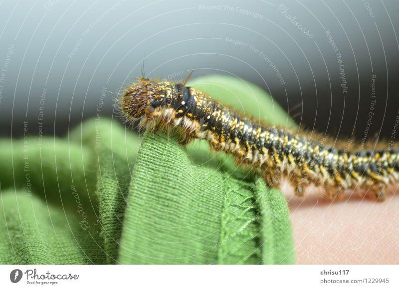 Haariger Krabbler Natur Sonne Schönes Wetter Wiese Tier Wildtier Schmetterling 1 krabbeln außergewöhnlich exotisch grün Raupe Farbfoto Außenaufnahme Nahaufnahme