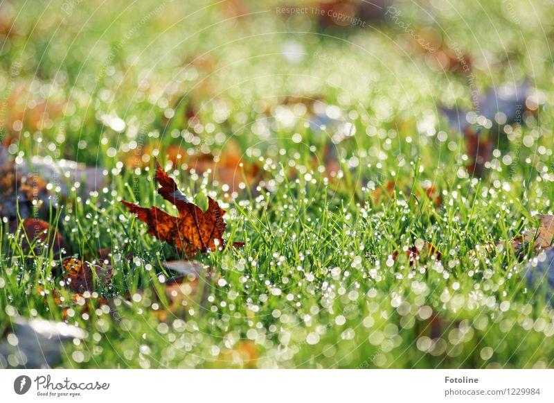Im letzten Herbst Umwelt Natur Pflanze Urelemente Wasser Wassertropfen Schönes Wetter Gras Blatt Garten Wiese nass natürlich braun grün Herbstlaub herbstlich