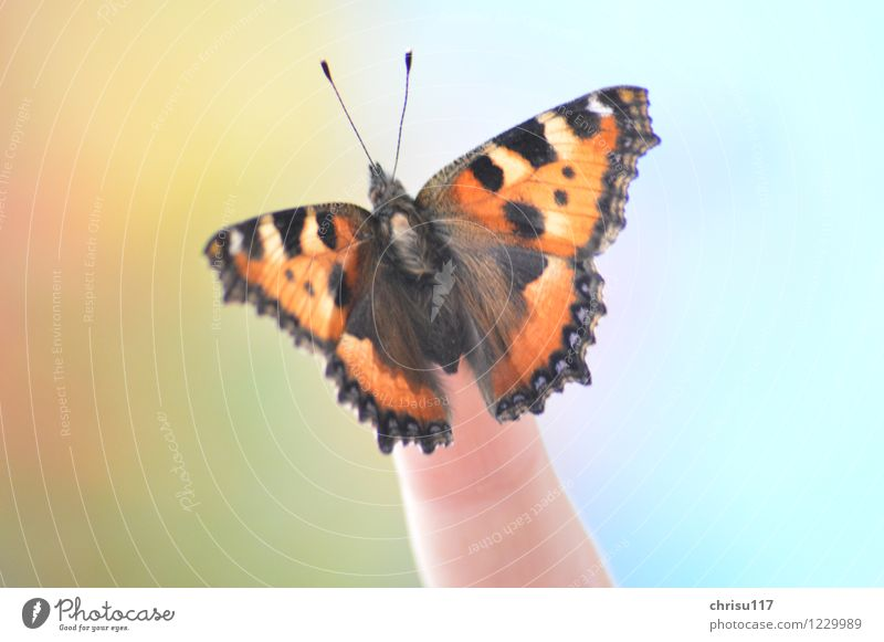 Kleiner Fuchs auf Finger Natur Sonne Frühling Schönes Wetter Tier Wildtier Schmetterling 1 sitzen ästhetisch glänzend Farbfoto Außenaufnahme Nahaufnahme Tag