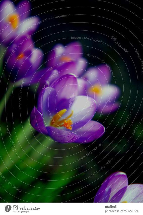 Frühlingsboten I Blume grün Freude schwarz gelb Blüte Wärme orange klein Fröhlichkeit Wachstum offen violett zart Blühend